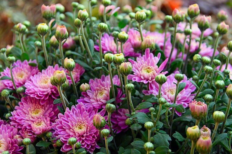 Pianta della fortuna: il crisantemo