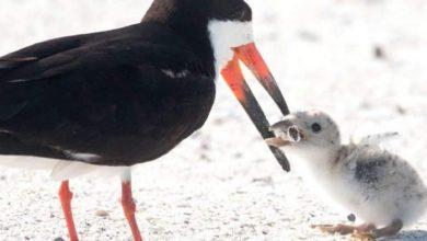 Photo of Un uccello marino nutre il suo pulcino  con un mozzicone di sigaretta. L'immagine virale lascia il mondo attonito