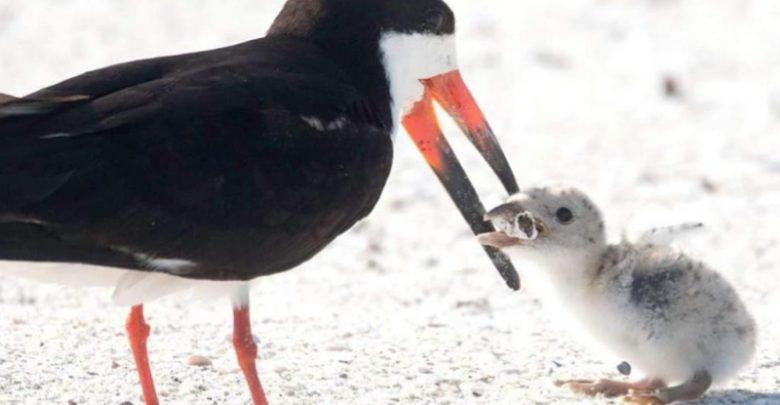 Uccello marino nutre il suo pulcino con un mozzicone di sigaretta