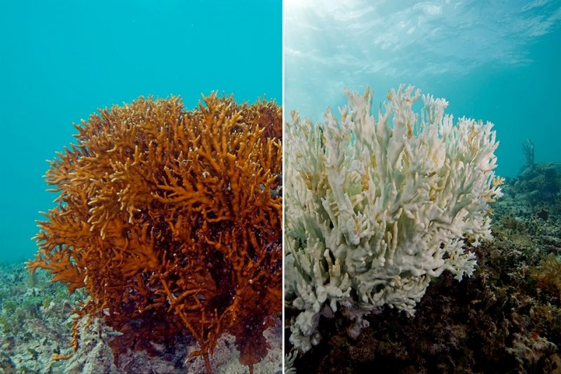 Barriera corallina, sbiancamento del corallo