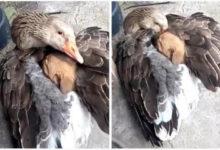 Photo of Un'oca scalda sotto le sue ali un cagnolino smarrito. Una scena che scalda anche i nostri cuori