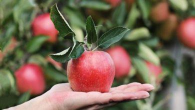 Photo of A Copenaghen verranno piantati alberi da frutto in tutta la città. Mele, more e mirtilli potranno essere raccolti gratuitamente