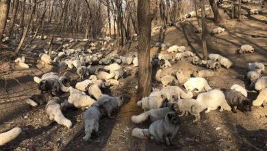 Photo of 174 volpi bianche vengono liberare da un allevamento di pellicce. Il video emoziona il web