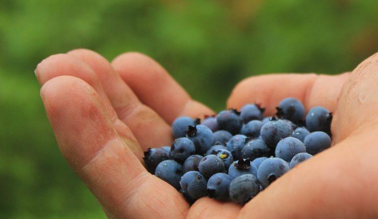 Alberi da frutto, more e mirtilli gratis in Danimarca