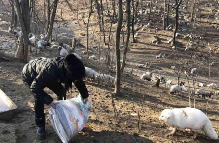 Volpi bianche liberate da un allevamento di pellicce