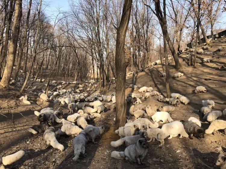 174 volpi bianche liberate