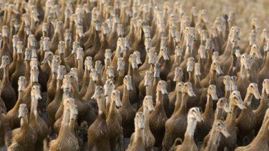 """Photo of La Cina pronta a sfidare l'invasione delle locuste con un """"esercito"""" di 100.000 anatre"""