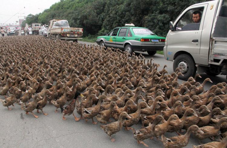Anatre contro le locuste in Cina