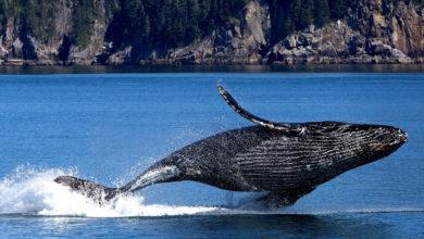 Photo of Le balene assorbono il 40% della CO2 prodotta nel mondo. Come 4 Amazzonie messe insieme