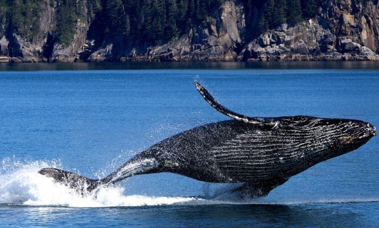 Le balene assorbono il 40-% della CO2