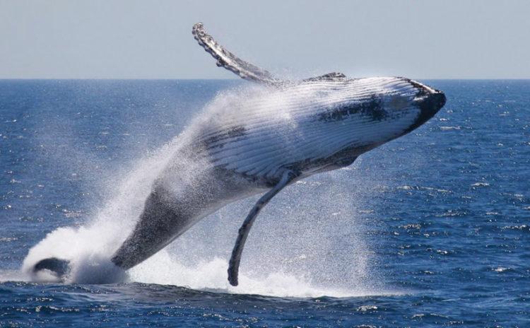 Le balene salveranno il mondo?