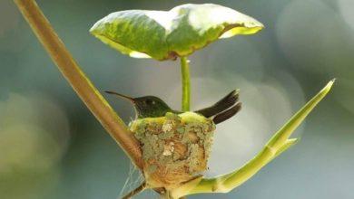 Photo of Mamma colibrì costruisce un nido dotato addirittura di un tetto per prendersi cura dei suoi piccoli in arrivo