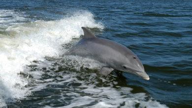 Photo of Nel silenzio dei porti italiani, da Cagliari a Trieste, arrivano i delfini