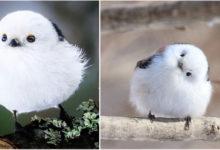 Photo of Shima enaga, l'uccellino giapponese che sembra un morbidissimo batuffolo di cotone