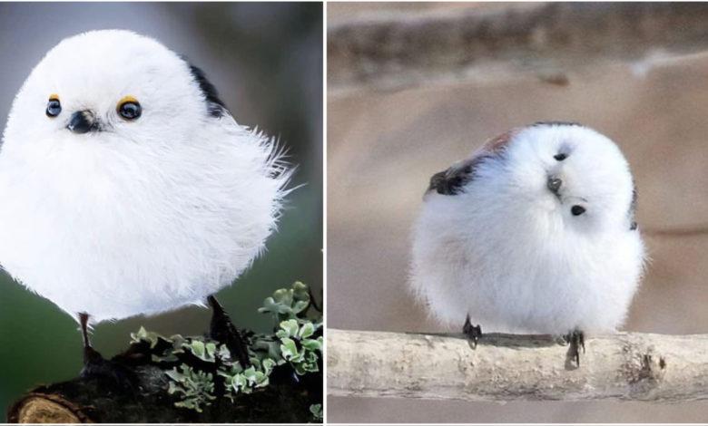 Shima enaga, uccellino giapponese
