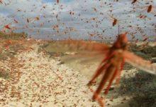 Photo of L'invasione di milioni di cavallette nei campi della Sardegna sta distruggendo pascoli e raccolti