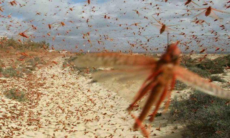 invasione di milioni di cavallette