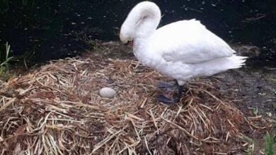 Photo of Distruggono il nido e le uova a sassate e il cuore del cigno non regge a tanto dolore. La storia che sdegna e commuove il web