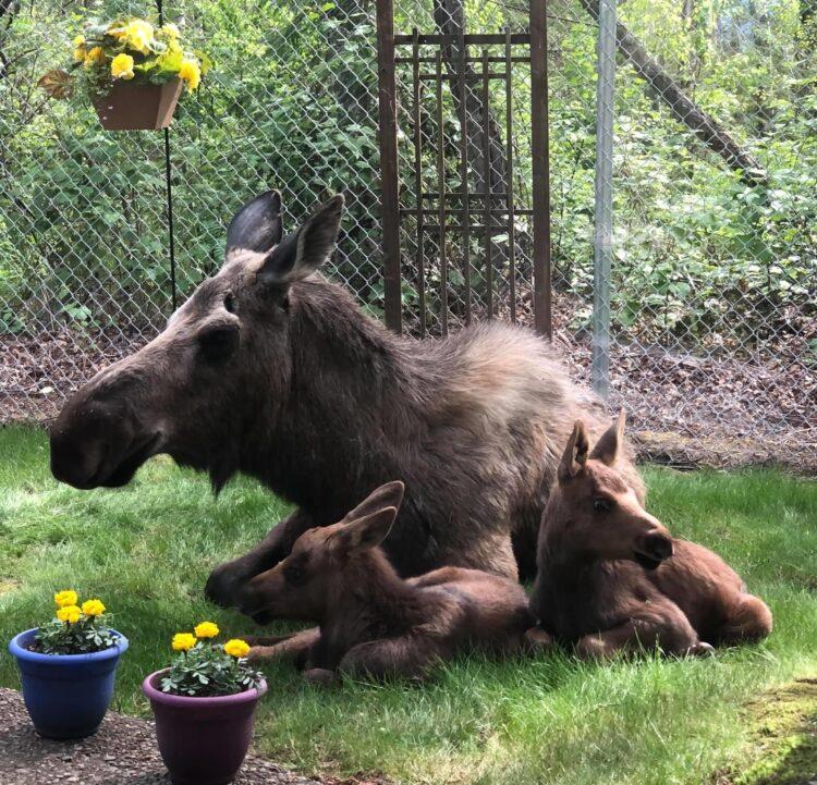 Mamma alce visita una famiglia