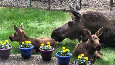 Photo of Mamma alce e i suoi cuccioli visitano il giardino di una famiglia