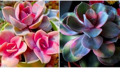 Photo of Succulenta arcobaleno, la pianta magica che cambia colore in base alle stagioni