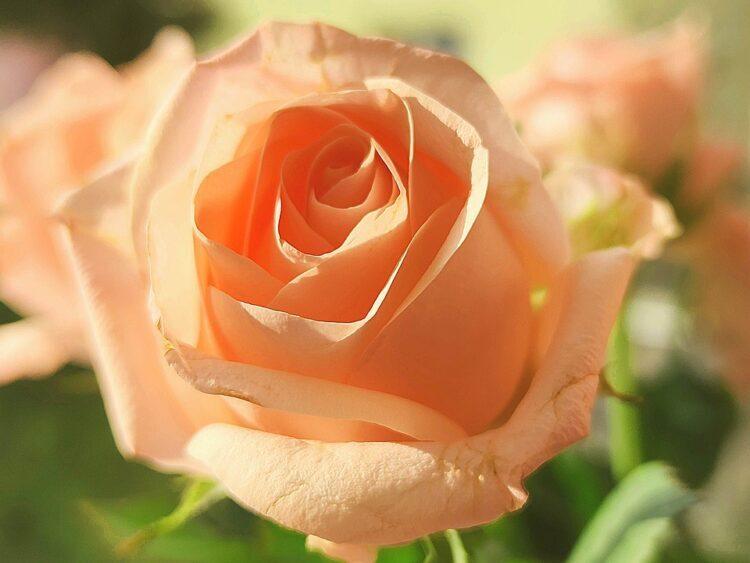 Le donne che amano le rose