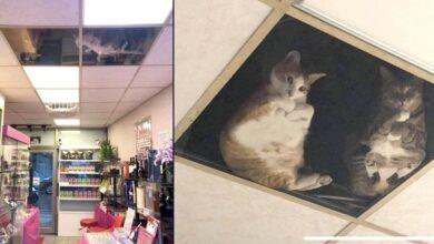Photo of Il proprietario di un negozio installa un pannello a vetri nel soffitto, ora i suoi gatti continuano a fissarlo tutto il giorno