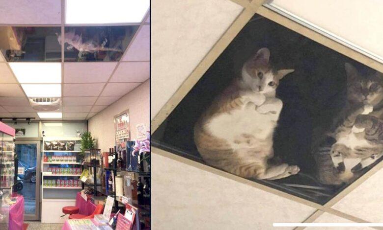 pannello a vetri nel soffitto gatti