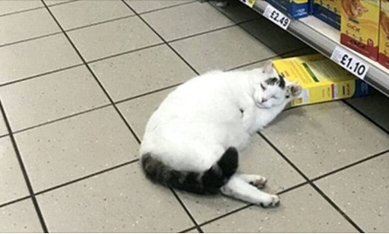 Gatto supermercato per rubare il cibo