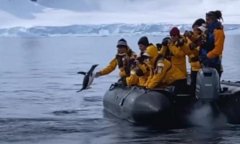 Pinguino fugge dalle orche assassine