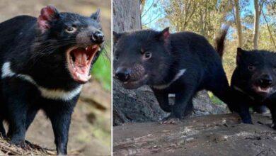 Photo of Il diavolo della Tasmania torna a ripopolare l'Australia: dopo più di 3mila anni sono nati 7 cuccioli del marsupiale a rischio estinzione