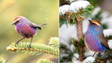 Photo of Un uccello dalla bellezza spettacolare che in pochi conoscono: con il suo aspetto meraviglioso sembra uscito da una fiaba