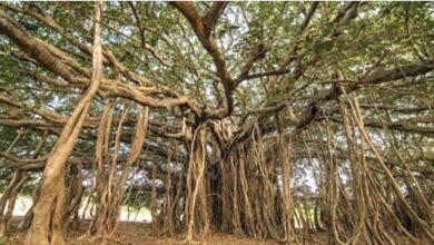 Photo of L'albero più grande del mondo si trova in India e sembra uscito fuori da una fiaba. Le sue immagini hanno conquistato il mondo