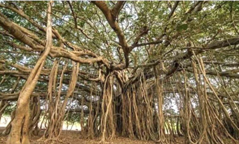 albero piu grande del mondo