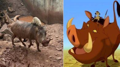 Photo of Un cinghiale e il suo inseparabile amico incarnano nella vita reale la coppia di amici Timon e Pumbaa del film Disney: le loro immagini conquistano il web