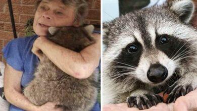 Photo of Un procione torna a trovare la donna che lo ha salvato 3 anni fa, quando era un cucciolo, solo per farsi coccolare
